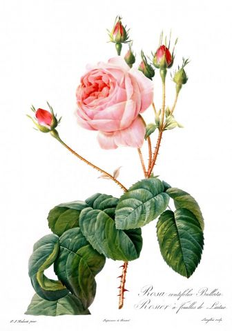 RB Botanical - Roses