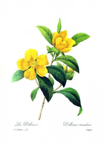 RB Botanical - Hibbertia