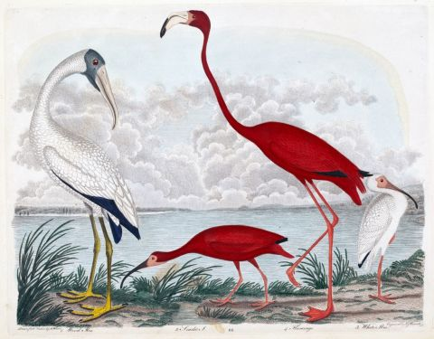 wood ibis, scarlet ibis, flamingo