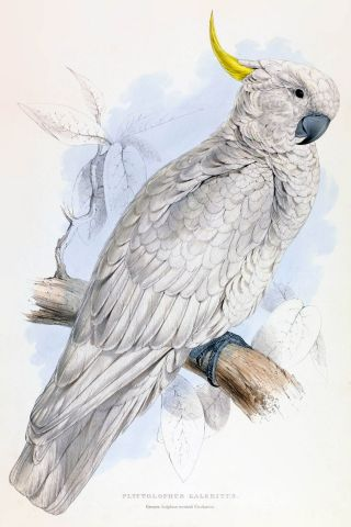 White-headed cockatoo - Edward Lear